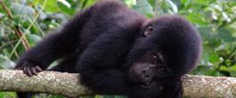 Mountain_Gorilla safaris