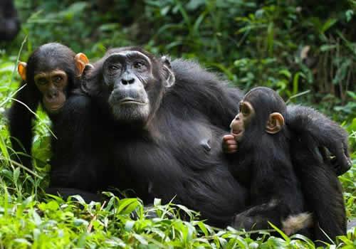 Chimpanzee in Kibale