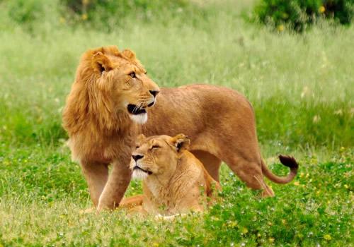 Uganda Lioness