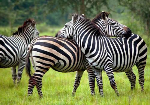 Zebras in Lake Kidepo